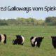 Belted Galloway Vom Spiekerberg