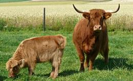 Highland Cattle Mutterkuhhaltung