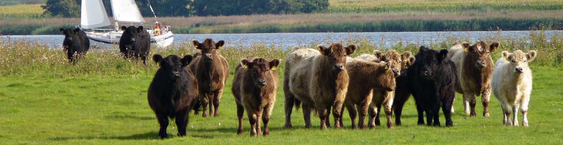 Fleischrinderzucht SH + HH Galloway Rinder