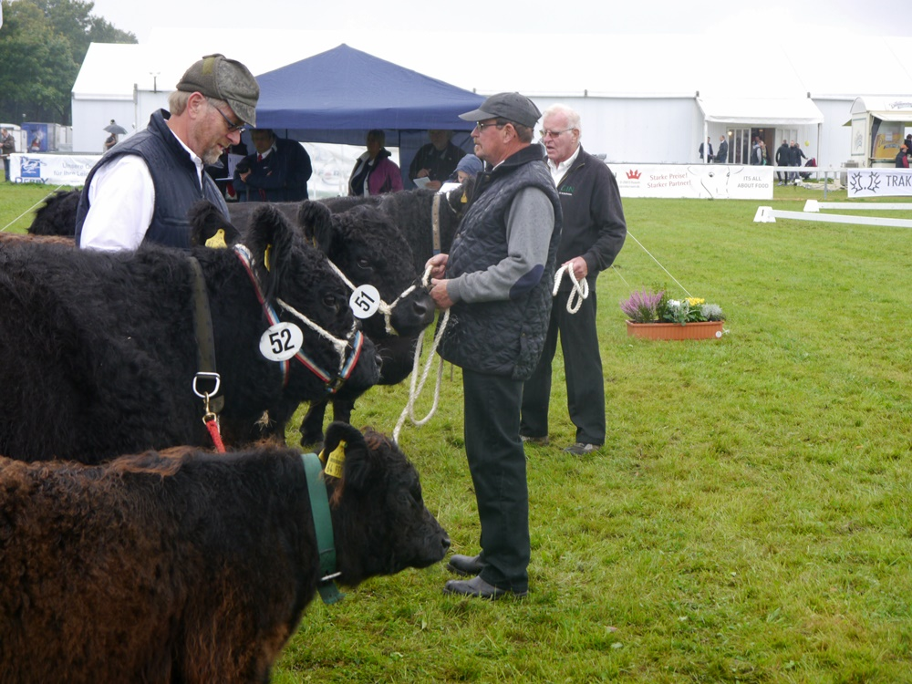 Galloway Kühe mit Kalb