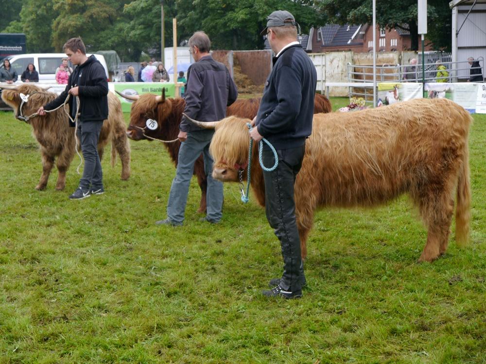 Highland Cattle Im Wettbewerb
