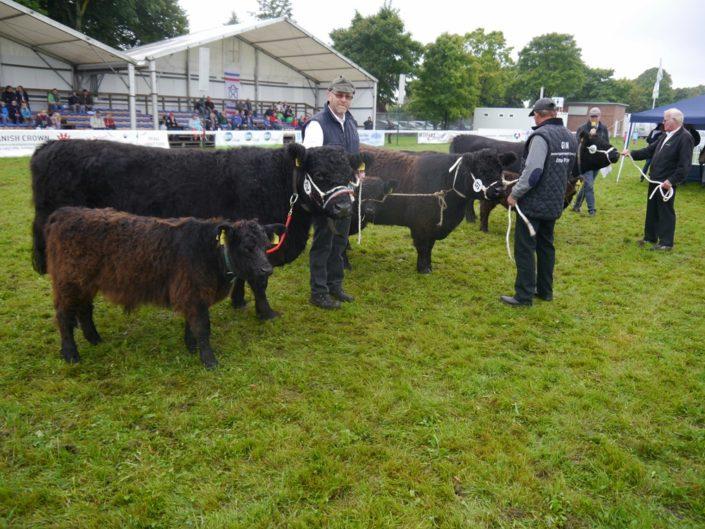 Wettbewerb Der Galloway Kühe