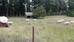 Murray Grey Herde