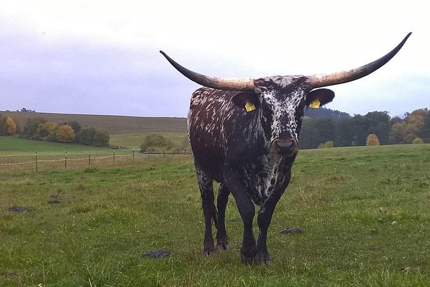 Rinderrasse Texas Longhorn
